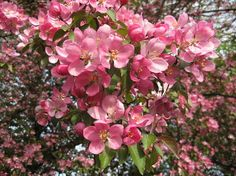 For Sale! http://fineartamerica.com/featured/perfect-pink-crab-apple-flowers-elisabeth-ann.html?newartwork=true