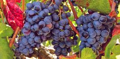 Common Grape Vine Variety of grape Vitis vinifera is a species of Vitis, native to the Mediterranean region, central Europe, and southwestern Asia, from Morocco and Portugal north to southern Germany
