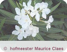 Oleander: verzorging en vermeerdering van een prachtige kuip- en terrasplant oleanders bloeien niet Nerium, Plants, Deco, Gardens, Lawn And Garden, Deko, Flora, Decorating