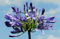 Agapanthus by Habub3, via Flickr