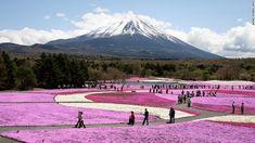 富士芝桜まつり(山梨県富士河口湖町) Shiba-sakura Festival(Fujikawaguchiko-machi, Yamanashi Prefecture)