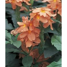 Orange Crossandra In Pot Nursery Plants, Border Plants, Decorative Planters, Flower Show, Bulbs And Seeds, Annual Plants, Winter Plants, Fall Plants, Planting Bulbs