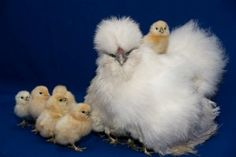 Google Image Result for http://www.raising-chickens.org/images/fancy-poultry-silky-chicken.jpg