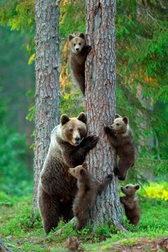 Brown Grizzly Bear!! Very Protective mothers!!