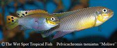 """Pelvicachromis taeniatus, """"Nyete"""" pair"""