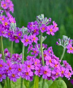Vigorous, Primula beesiana, commonly known as Candelabra Primrose, is a deciduous perennial with attractive whorls of deep-pink to purple flowers with a yellow heart. Pond Plants, Shade Plants, Garden Plants, List Of Flowers, Purple Flowers, Wild Flowers, Shade Perennials, Flowers Perennials, Primula Vialii