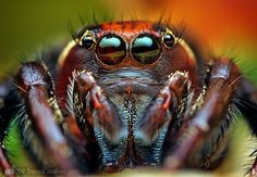 Thomas Shahan produces the most astounding macro photos of insects, capturing their distinctive colours, shapes and nuances with devastating clarity and el Insect Photography, Close Up Photography, Amazing Photography, Where The Heart Is, Aliens, Macro Photographers, Jumping Spider, Animals Of The World, Natural World