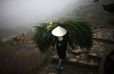 Sapa, Vietnam: A farmer carries grass to feed water buffalo    Photograph: Carlos Barria/Reuters