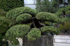 Drzewko Bonsai w ogrodach