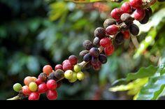 La producción de café en el municipio de Cuetzalan cayó 60 por ciento en los últimos siete años reveló el edil Oscar Paula Cruz.  Dijo que diversos factores influyeron para tal desplome como la reducción considerable de los precios internacionales, las condiciones climatológicas y últimamente la inestabilidad del precio frente al dólar.  En conferencia para anunciar la Feria del Café y el Huipil que se realizará del 1 al 8 de octubre próximo, el munícipe detalló que anteriormente la…