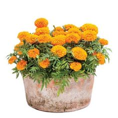 Fall Container Gardening Ideas: Sunny Marigolds