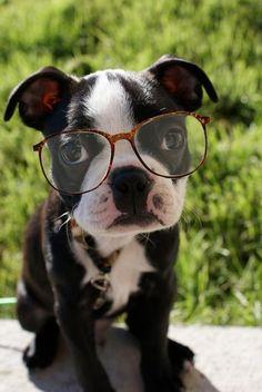Boston terrier puppy dog wearing eyeglasses