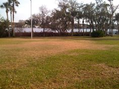 A St Augustine grass yard with a large patch of sedge that turned off-color shortly after a very cold night (by Tampa standards).