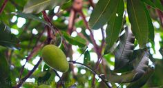 """Our kalabaw mango (""""super mango"""") tree is laden with fruits."""