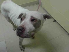 URGENT - Staten Island Center   PATCH - A0995023   FEMALE, WHITE / BROWN, PIT BULL MIX, 5 yrs  STRAY - STRAY WAIT, HOLD FOR ID Reason ABANDON   Intake condition NONE Intake Date 03/27/2014, From NY 10303, DueOut Date 03/30/2014, I came in with Group/Litter #K14-172015 https://www.facebook.com/photo.php?fbid=778870762125805&set=a.617941078218775.1073741869.152876678058553&type=3&theater