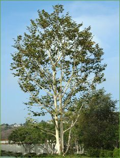 Sycamore tree :)/ATTRACTS: Goldfinch. Plant with Red Maple Tree which also attracts Goldfinch. Goldfinch Will use mature trees for nesting and roosting.
