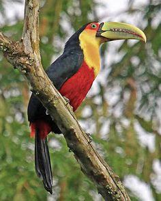 Tucano-de-bico-verde_Ramphastos dicolorus_Brazilian Birds