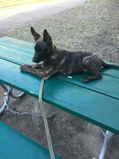 Miles Dutch Shepherd from 187Kennels Dutch Shepherds and Belgian Malinois