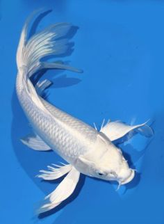 Live-koi-fish-14-Platinum-White-Ogon-Butterfly-long-fin-Koibay