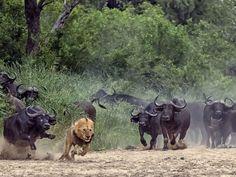 Imagem aproximada mostra o leão batendo em debandada com um dos búfalos em seu encalço (Foto: Dave Woollacott/Caters News)