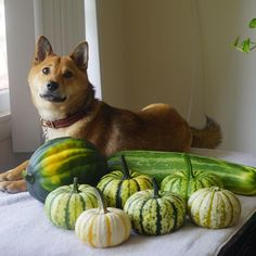 #harvest #green #pumpkin #acorn #squash #zucchini #big #vegetable #crop #summer #window #pose #shibapose #わんダフォ#proudshibas ##dog #dogphotography #pet #a7r #shiba #shibaillinois #shibapose#redsesameshiba #shibainu #posh #cute #nature #earth #baseballbat #shibalovers  ma...? Why are all these on my hangout place by the window? Ma....? They are our harvest???? Woo! Look at this size of monstrous zucchini, ma! We can play baseball with it . By Dewi Lam