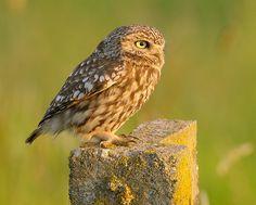 Little owl (Athene noctua) | Little Owl (Athene noctua) | Flickr - Photo Sharing!