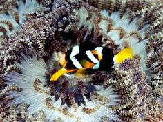 Andaman - Anemon Fish