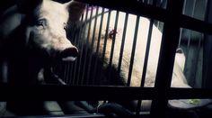 GERMANY, AUGUST 2014 - The German Pig Industry Exposed