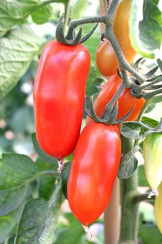 San Marzano tomatoes! I will be growing these again this season.  superb.