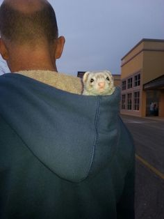 Goin' for a ride. #ferret