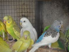 lovebirds and budgies