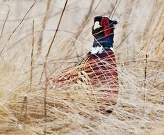 Pheasant Hunting: How to Thwart Rooster Ruses (Outdoor Life)