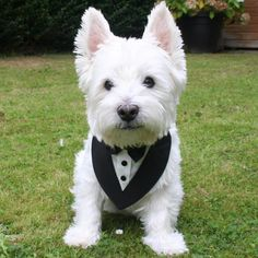 The name's Westie, Barney Westie. License to Bark.