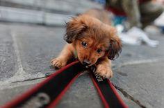 Dachshund puppy selfie