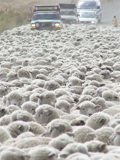 "This ""sea of wool"" just makes me smile.  Who'd a thunk that a whole bunch of these mangy beasts could keep big powerful cars from going from A to B destination-wise?  It's the power of numbers at work."