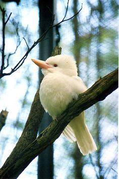 ~ Albino Kookaburra ~ Australian bird from the Kingfisher family. Pretty Birds, Beautiful Birds, Animals Beautiful, Cute Animals, Kinds Of Birds, All Birds, Love Birds, Exotic Birds, Colorful Birds
