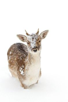 Enough with the snow already! llbwwb: Fallow Deer by Jim Cumming Especie Animal, Mundo Animal, Beautiful Creatures, Animals Beautiful, Animals And Pets, Cute Animals, Photo Animaliere, Fallow Deer, Mule Deer