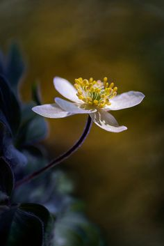 Woodland Anemone | by Mandy Disher on Flickr