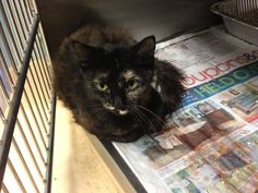 ***6/16 SAM (FEMALE TORTIE) IS ON TOMORROW MORNING'S EUTH LIST!!! If you can adopt, email UrgentCatsofTampaBay@gmail.com with the following information: 1) name, 2) phone#, 3) how many pets you have and if UTD on rabies shots, and 4) what time you will be able to go to the shelter TOMORROW for a meet & greet. The shelter is open from 10-7 daily! Sam  A1545303 2 yr old Tortie and Black Domestic Medium Hair Sam is a  friendly girl! She looks to be well taken care of and has a beautiful coat.