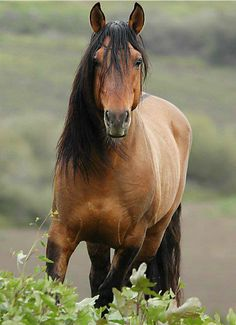 minus the white stripe, but gorgeous! --- Sorraia breed - thought to be related to original Spanish mustangs. Return-to-Freedom,-Lompoc,-CA. Most Beautiful Animals, Beautiful Horses, Beautiful Creatures, Zebras, Dun Horse, Majestic Horse, Wild Mustangs, All The Pretty Horses, Horse Pictures