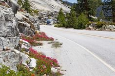 Wild flowers along the road in Yosemite