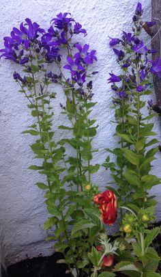 """Melkeklokke"" - Campanula lactiflora ""Prichard´s Variety"" - My own garden 29.6.14 IJ"