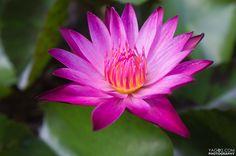 Thai Lotus (via #spinpicks)