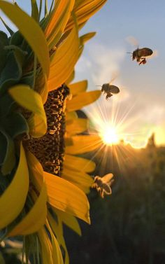 Up close sunflower with bees approaching, bathed in golden sun rays Aesthetic Iphone Wallpaper, Nature Wallpaper, Aesthetic Wallpapers, Wallpaper Backgrounds, Sunflower Photography, Nature Photography, Morning Photography, Sunflower Pictures, Nature Pictures Flowers