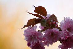 Japanse kers (Prunus serrulata)