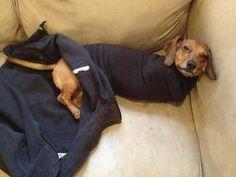 12 Wiener Dogs Stuck In Sleeves Is The Funniest Thing