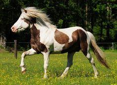 silver dapple (?) tovero - Icelandic Horse stallion Glampi frá Langárfossi