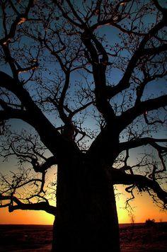 ✮ Baobob Sunset