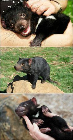 Tasmanian Devils by Dan Fellow Baby Animals, Cute Animals, Odd Animals, Beautiful Creatures, Animals Beautiful, New Zealand Tattoo, Australia Animals, Tasmanian Devil, Animal 2
