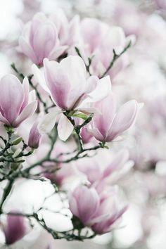 Magnolia love 💕 📷 via Flor Magnolia, Magnolia Trees, Flowers Nature, Spring Flowers, Beautiful Flowers, Cut Flowers, Dried Flowers, Pastel Flowers, Winter Flowers
